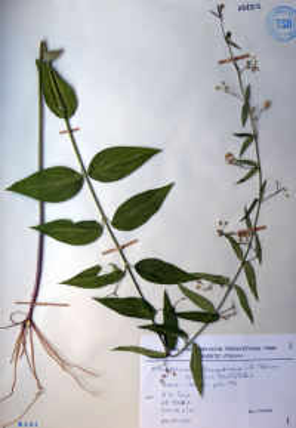 Vincetoxicum hirundinaria Medik. subsp. laxum (Bartl.) Poldini