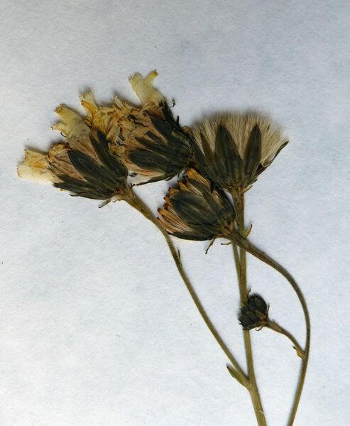 Hieracium neoplatyphyllum Gottschl.