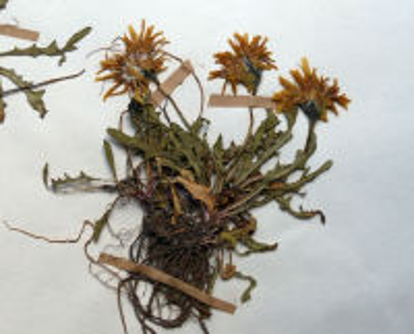 Scorzoneroides montana (Lam.) Holub subsp. melanotricha (Vierh.) Gutermann