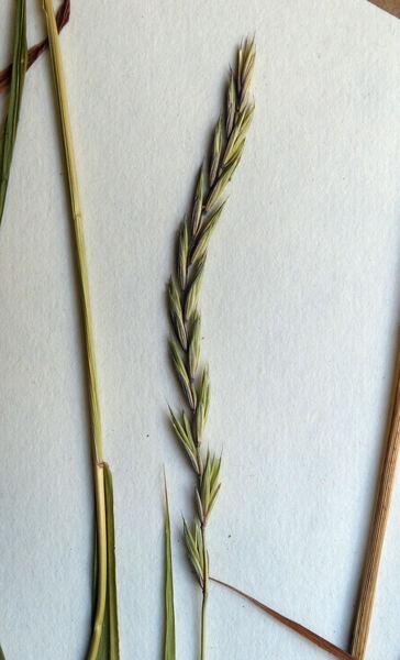 Elymus caninus (L.) L. subsp. biflorus (Brignoli) Á.Löve