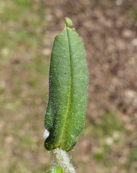 Pulmonaria australis (Murr) W.Sauer
