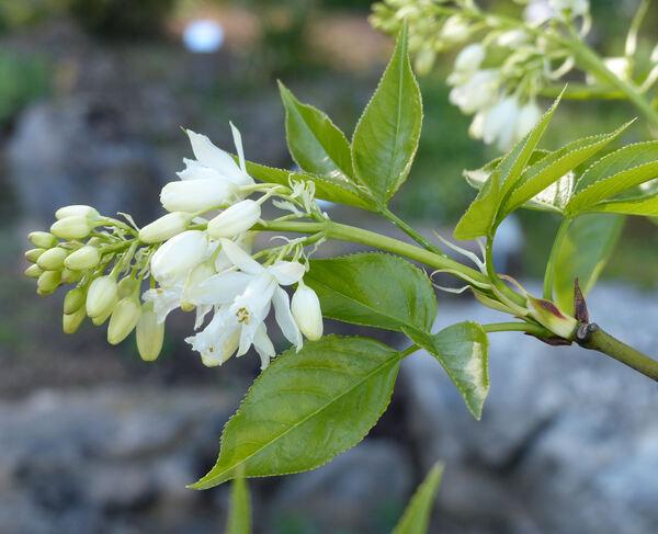 Azadirachta indica A. Juss.