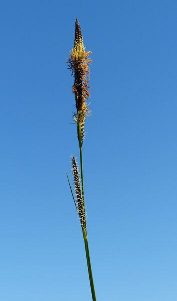 Carex elata All. subsp. elata
