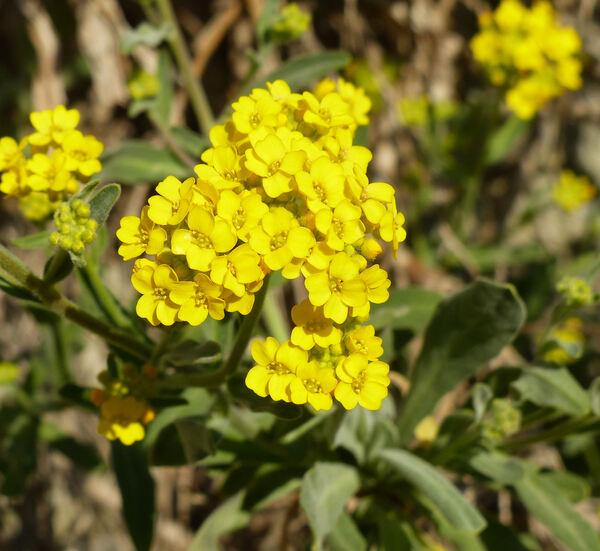 Aurinia saxatilis (L.) Desv. 'Compacta Goldkugel'