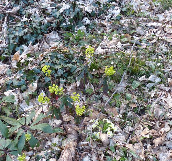 Euphorbia amygdaloides L.