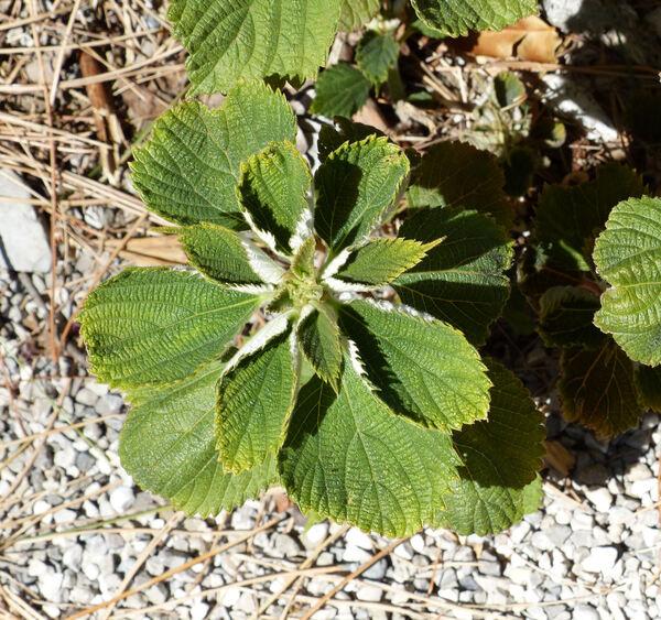 Boehmeria nivea (L.) Gaudich.