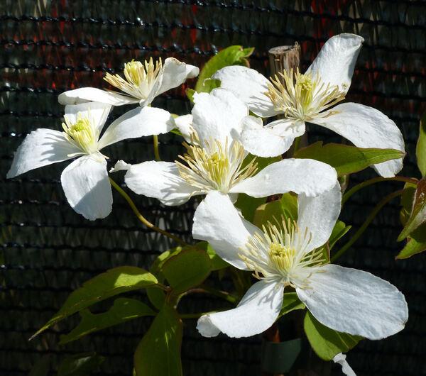 Clematis montana DC. 'Grandiflora'