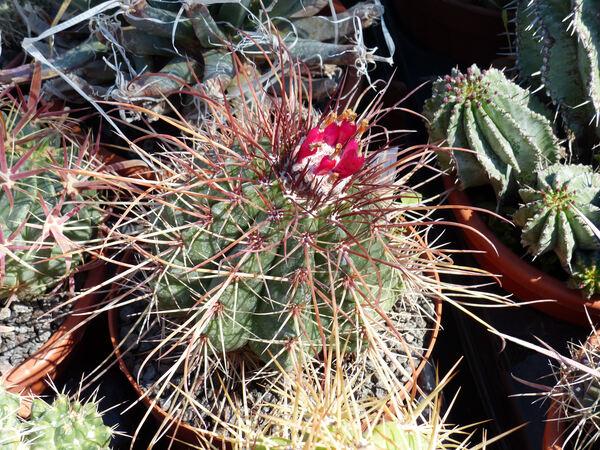 Melocactus diamantinus hort.