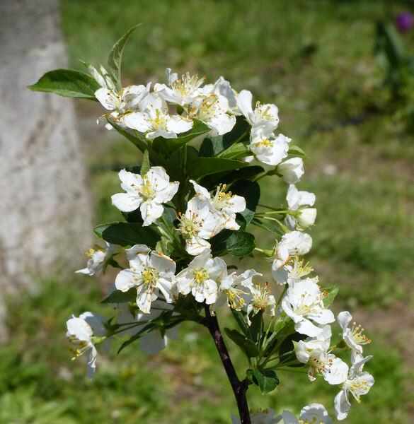 Malus toringo (Siebold) Siebold ex de Vriese var. sargentii (Rehder) C.K.Schneid.
