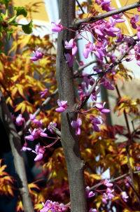 Cercis canadensis L. 'Hearts of Gold'