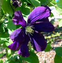 Clematis 'Luther Burbank'