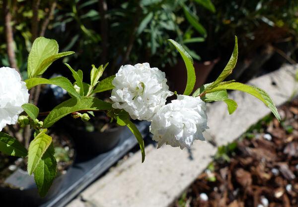 Prunus glandulosa Thunb. 'Alboplena'