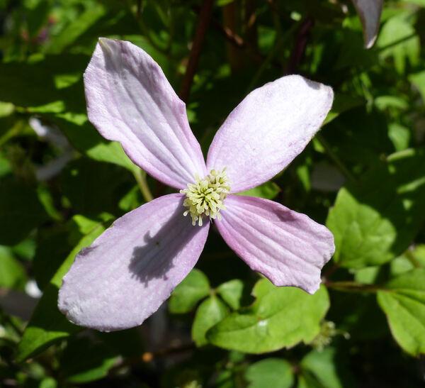 Clematis montana DC. 'Broughton Star'