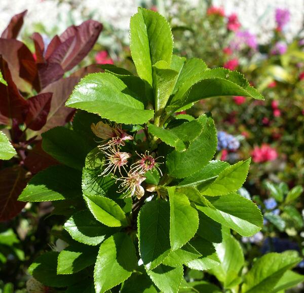 Prunus avium (L.) L. 'Nano'