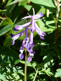 Corydalis anthriscifolia Franchet 'Blackberry Wine'