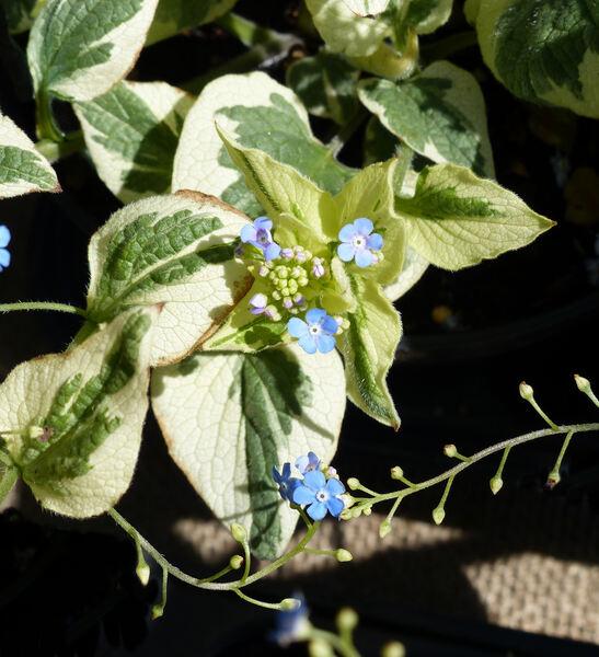 Brunnera macrophylla (Adams) I.M.Johnston 'Dawson's White'