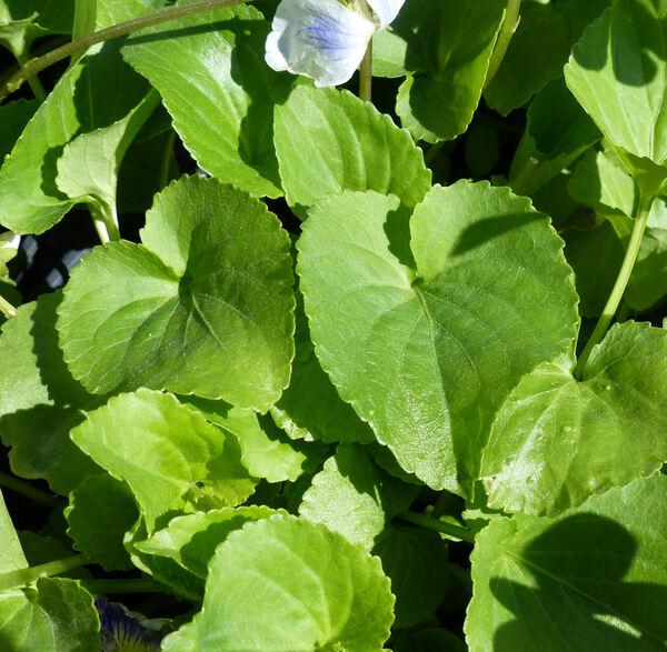 Viola sororia Willd. 'Albiflora'
