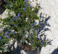 Ceanothus arboreus Greene 'Blue Diamond'