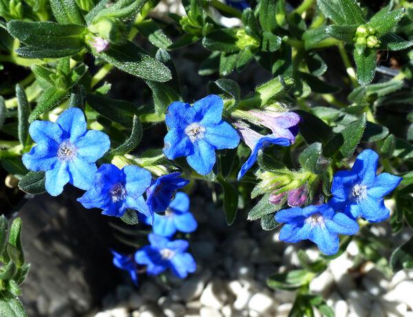 Lithodora diffusa (Lag.) I.M.Johnst. 'Heavenly Blue'