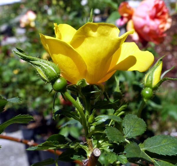 Rosa foetida Herrm.
