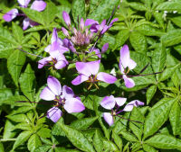 Tarenaya hassleriana (Chodat) Iltis