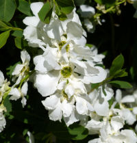 Exochorda x macrantha C.K.Schneid. 'The Bride'