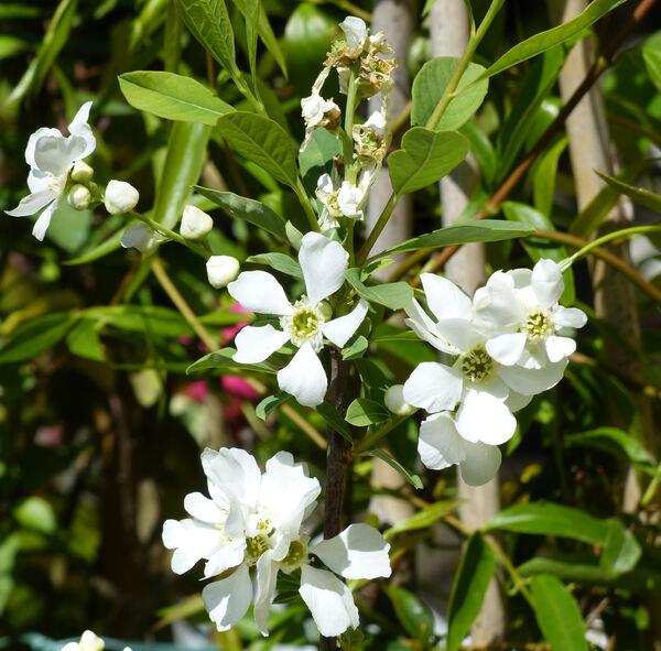 Exochorda racemosa (Lindl.) Rehder 'Niagara'