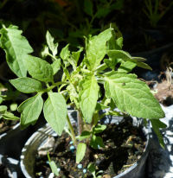 Solanum lycopersicum L. 'San Marzano'