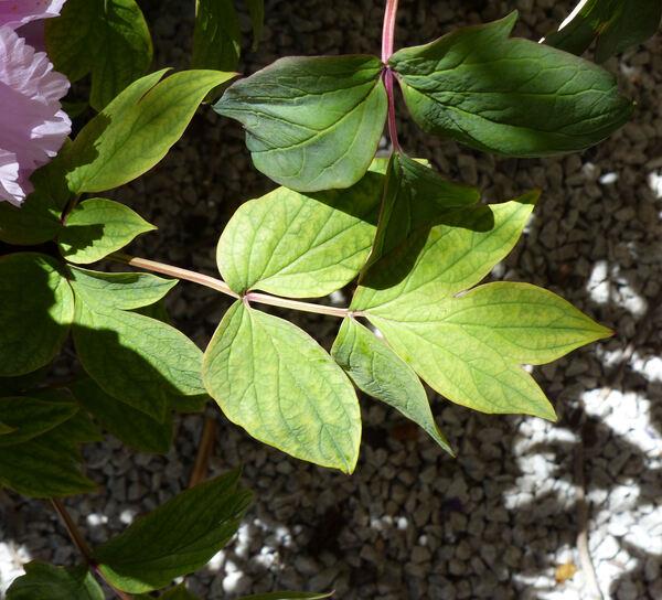 Paeonia suffruticosa Andrews 'Kamata Fuji'