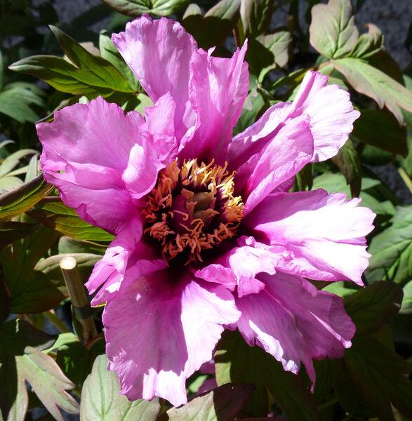 Paeonia 'Anne Marie'