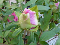 Paeonia 'Brocaded Gown'