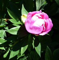 Paeonia 'First Arrival'