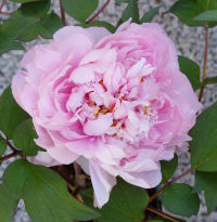 Paeonia suffruticosa Andrews 'Savii'