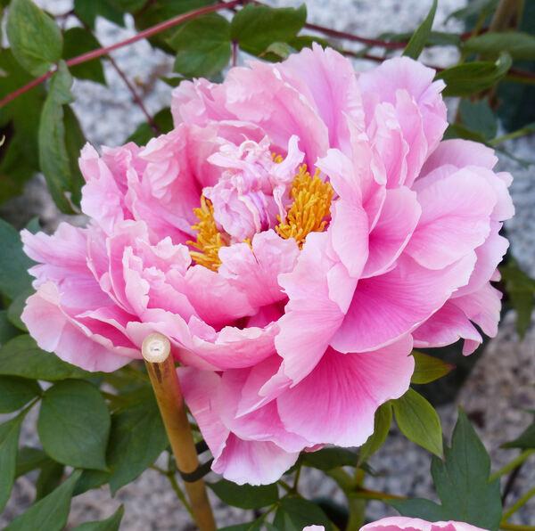 Paeonia suffruticosa Andrews 'Jaqueline Farvaques'