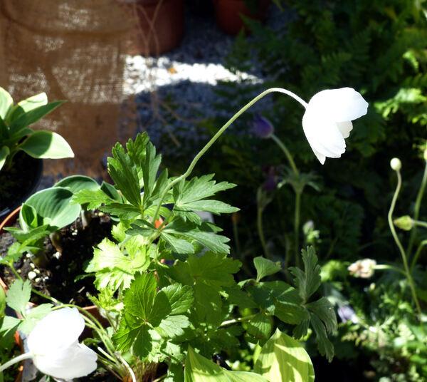 Anemone sylvestris L.
