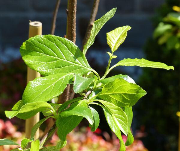 Prunus domestica L. 'President'