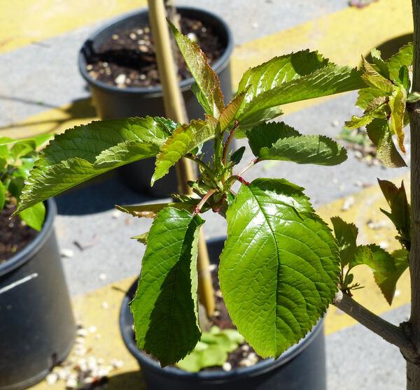 Prunus avium (L.) L. 'Regina del Mercato'