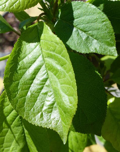 Prunus cerasus L. 'Visciolone'