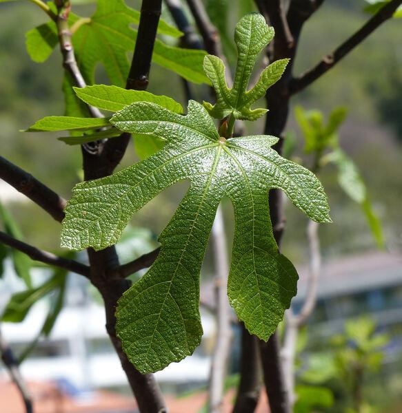 Ficus carica L. 'Piombinese San Pietro'