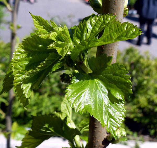 Morus nigra L.