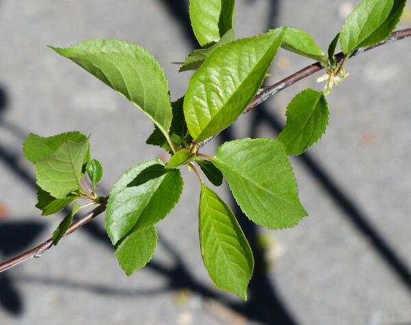 Prunus cerasus L. 'Amarena di Verona'
