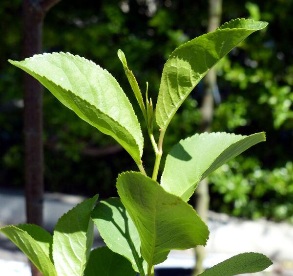 Prunus cerasus L. 'Marasca del Quarnero'
