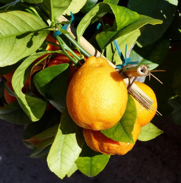 Citrus x limonia Osbeck 'Limetta Rossa'