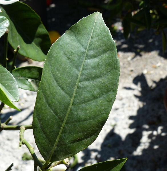 Citrus x limon (L.) Osbeck 'Limone Vinato'