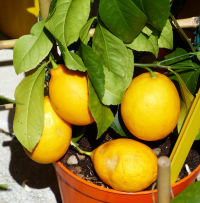 Citrus x limon (L.) Osbeck 'Meyer'