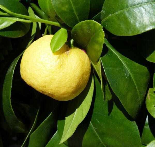 Citrus x limon (L.) Osbeck 'Limetta Pursha'
