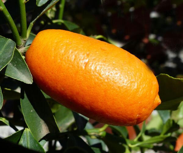 Fortunella margarita (Lour.) Swing. 'Gigante'
