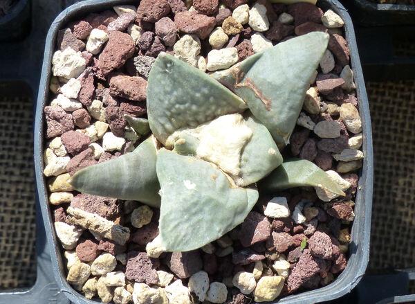 Ariocarpus retusus Scheidw.