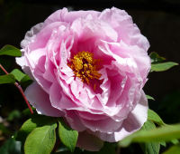 Paeonia 'Comtesse de Tudor'