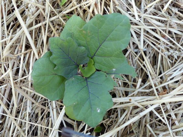 Solanum melongena L. 'Grandiosa'